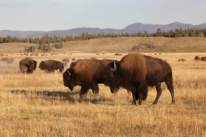 the plains bison hunt essay Hunting the celebrated horse-mounted bison hunters of the eighteenth and nineteenth centuries in the great plains have captured the popular imagination, but their reign represents only a relatively short phase in the long and complex history of plains indian hunting.