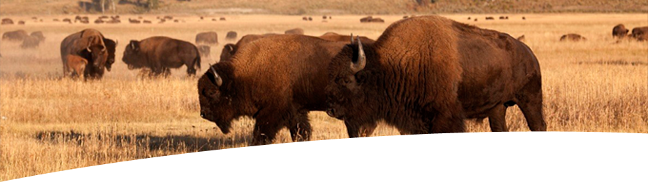 Hunt Buffalo at High Adventure Ranch